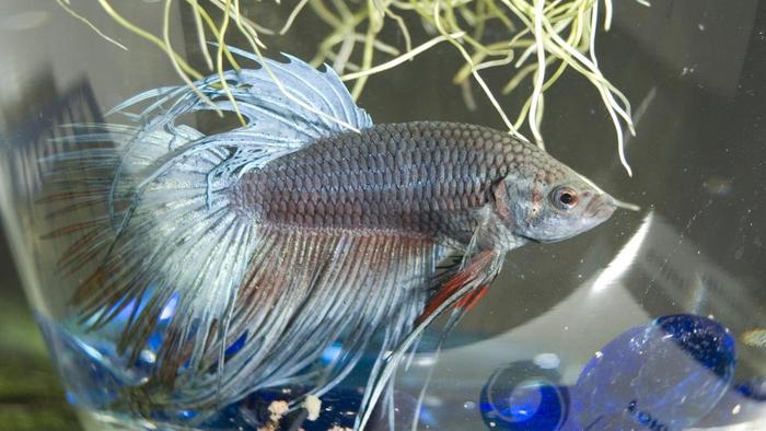good-name-betta-fish_1301c687fef6401b